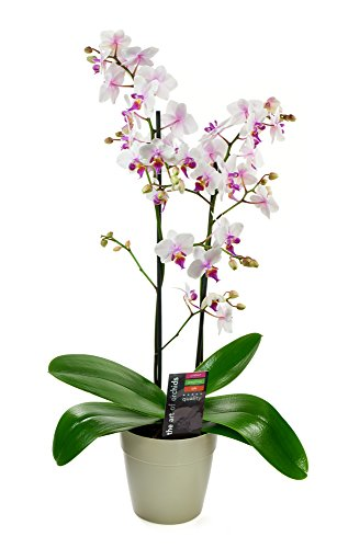 KaBloom Live Orchid Plant Collection: Bicolor Phalaenopsis Orchid Plant (18-24 Inches Tall) in a White Euro Pot
