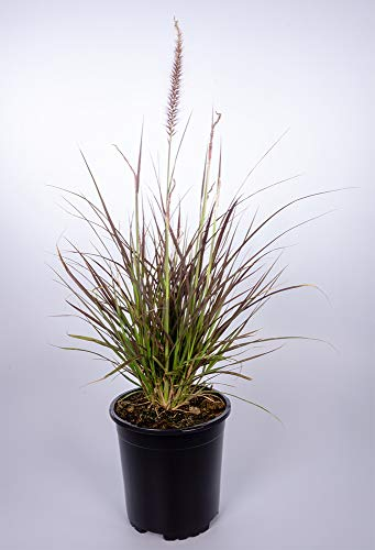 Seville Farms GRS006 Ornamental Purple Fountain Grass, 2.50-QT, Green