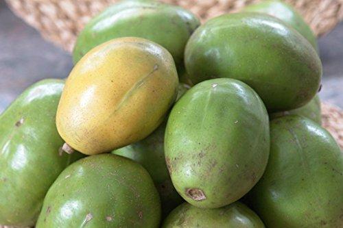 Heirloom Spondias Mombin - Hog Java Plum Makok - Rare Tropical Plant Tree Seeds (4 Seeds) (Golden Plum)