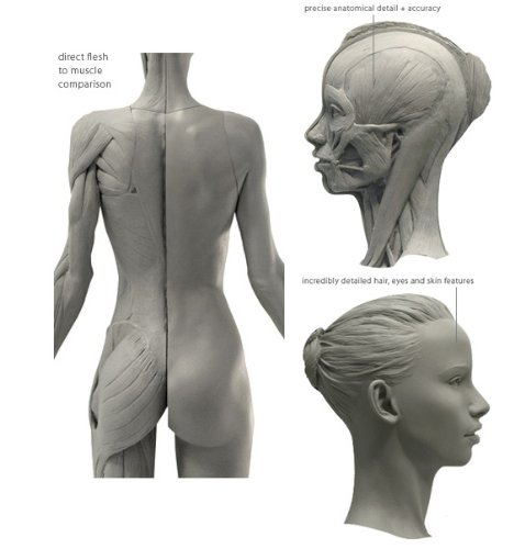 Female Anatomy Figure: 10.5-inch Anatomical Reference for Artists ...