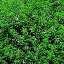 Herb Seeds - Savory Winter - 2000 Seeds