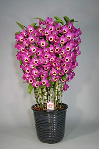 - FERRY Organic Seeds:Dendrobium red Emperor, Orchids hybrids