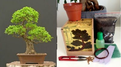 Tree Chinese Elm Bonsai (Chinese Elm Complete Bonsai Growing Kit - Soil/Pots/Seeds2x/Wire/Fertilzer/Mesh/Tweezer/PlantMarkers)