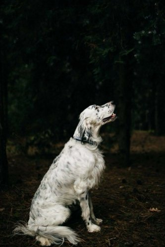 English Setter: Artified Pets Journal/Notebook/Diary 160 Pages (Volume 80)