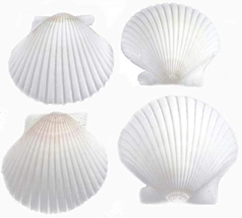 FSG - 25 White Florida Scallop Shells (about 2