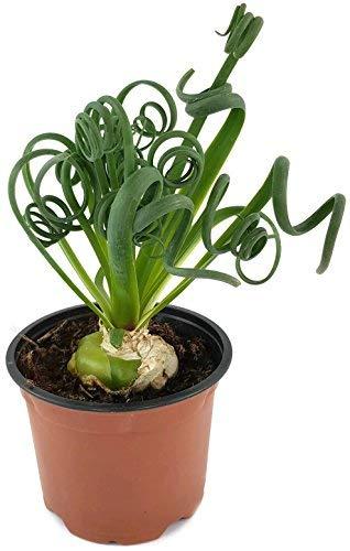 Albuca Spiralis Das Trendige Zwiebelgewachs Frizzle Dizzle Eine Sehr Schone Dekoration In Ihrer Wohnung Zimmerpflanze Mit Korkenzieher Blattern