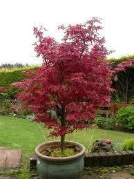 Acer Palmatum Skeeters Broom 70 75cm Tall 23cm Pot Top Quality