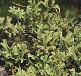 Cheap Icelandic Moss, Powder – Wildcrafted – Cetraria islandica (454g = One Pound) Brand: Herbies Herbs