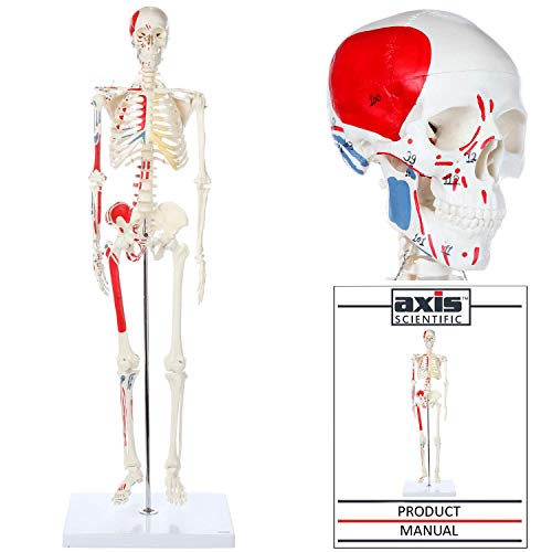 Axis Scientific Mini Human Skeleton Model with Metal Stand - 31