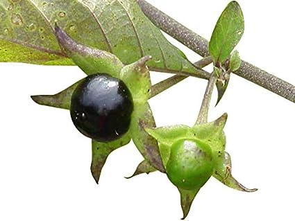 belladonna сорт