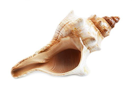 - Florida Shells and Gifts Inc. One Genuine Striped Fox Conch Seashell (4-5