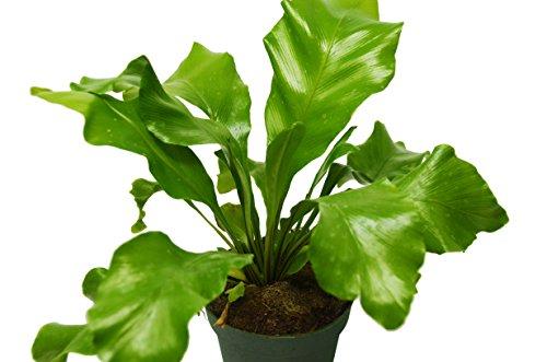Bird's Nest 'Nidus' Fern - Live Plant - FREE Care Guide - 4'' Pot - Low Light House Plant by House Plant Shop