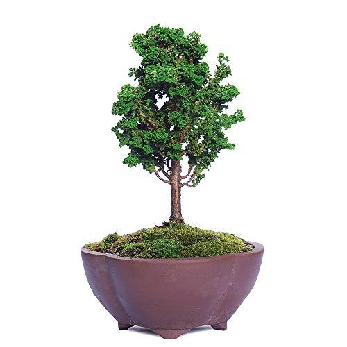 Brussel's Bonsai Live Dwarf Hinoki Cypress 'Sekka' Outdoor Bonsai Tree - 4 Years Old 6