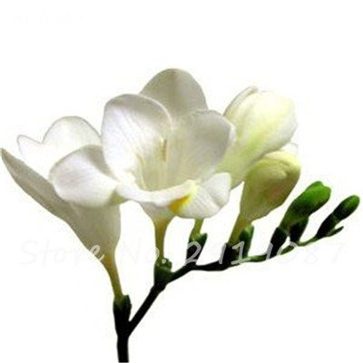 20 Pcs Freesias Seeds Colorful Fragrant Flower Plant Gorgeous Seeds Charming Flower Plant Seeds Plant For Garden 4