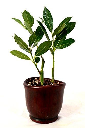 9GreenBox - Sweet Bay Herb Bonsai with Fertilizer ()