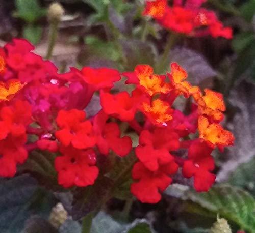 Lantana Plant - Dallas Red Lantana - Live Plant in 2.5 inch Pot