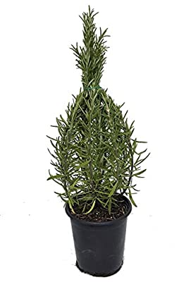 "Rosemary Christmas Tree - 4"" pot - Great Herb Plant for Indoors/Out - Live Plant"