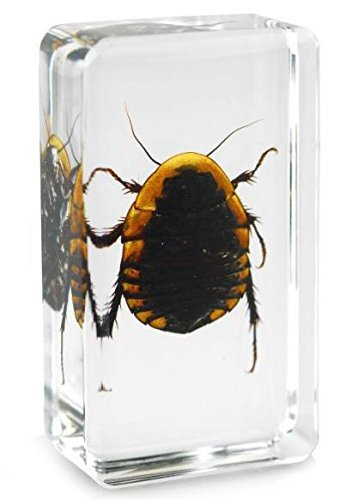Real Ground Beetle Insect Paperweight Specimen - Medium Block by Real Nature