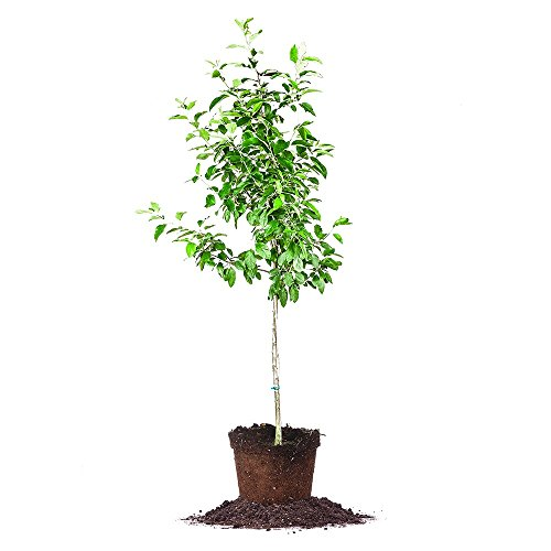 EIN SHEMER APPLE TREE - Size: 5-6 ft, live plant, includes special blend fertilizer & planting guide by PERFECT PLANTS