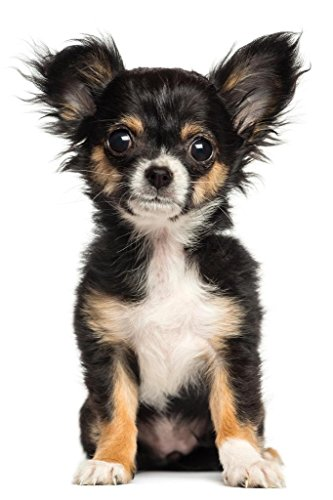 Chihuahua Puppy Sitting Posing for Camera Photo Art Print Poster 24x36 -