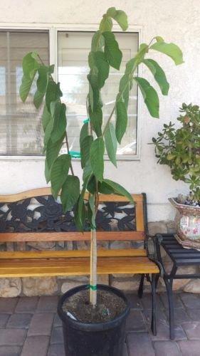 Atemoya (African Pride) Tropical Fruit Trees