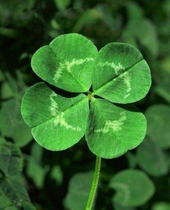 four leaf clover pic