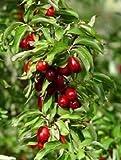 Mini Garden CORNUS MAS - CORNELIAN CHERRY DOGWOOD- PLANT - APPROX 9-14 INCH