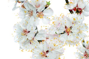 1 Bare Root of Weeping Snow Fountain Flowering Cherry