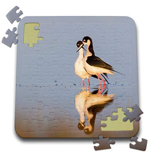 3dRose Danita Delimont - Birds - Black-Necked Stilts, Courtship Dance - 10x10 Inch Puzzle (pzl_313951_2)