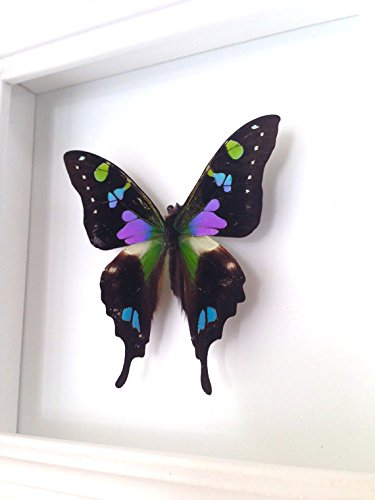 Swallowtail Butterfly Display Shadow Box - Framed Butterfly ()