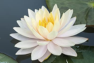 10 WHITE LOTUS Nymphaea Ampla Asian Water Lily Pad Flower Pond Seeds
