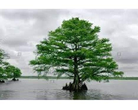 Fresh Cuttings Grow Your Own Bald Cypress More Trees and Shrubs Get 10#ADN01YN