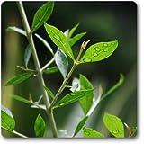 Indian Gardening Henna Mehandi Dye Plant Lawsonia Inermis Tattoo