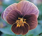30+ Viola Frosted Chocolate Sweetly Scented Shade Perennial Flower Seeds PERENN