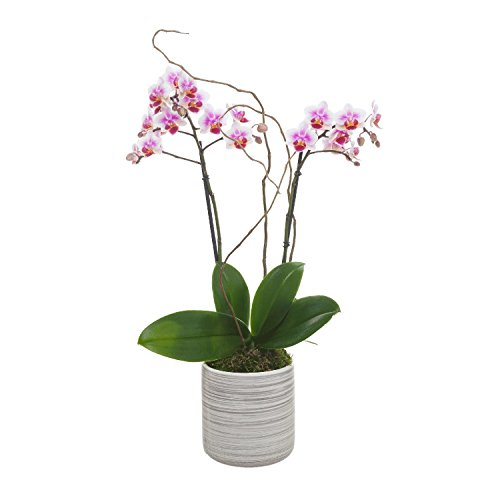 Living Phalaenopsis in Light Grey Ceramic pot - Petite Light Pink Blooms