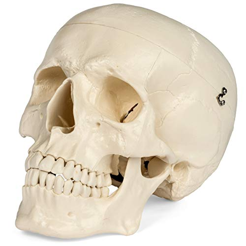 Maad Scientific Medical Anatomical Skull Model - 3 parts - Life Sized Human Mold by Maad Scientific