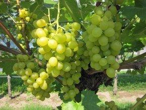 Weinrebe 'Lakemont' - Vitis 'Lakemont' - Kernlose/kernarme Tafeltraube von Native Plants