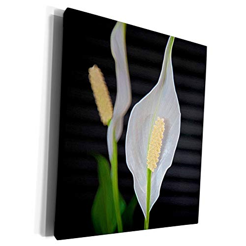 3dRose Jos Fauxtographee- Peace Lily Plant - A close up of some white flowers on a peace Lily Plant - Museum Grade Canvas Wrap (cw_300189_1)