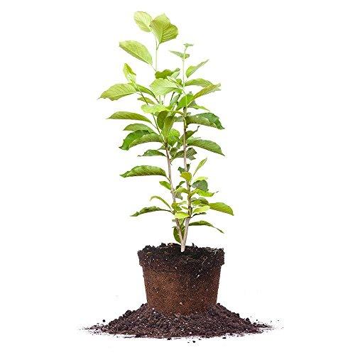 ANN Magnolia Tree - Size: 5 Gallon, Live Plant, Includes Special Blend Fertilizer & Planting Guide by PERFECT PLANTS (Image #1)