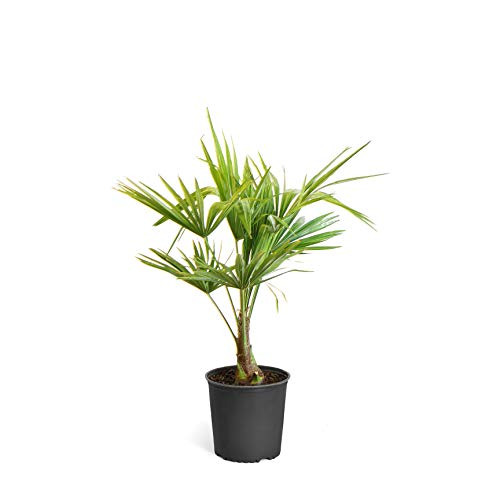 - Pindo Palm - 3 Gallon