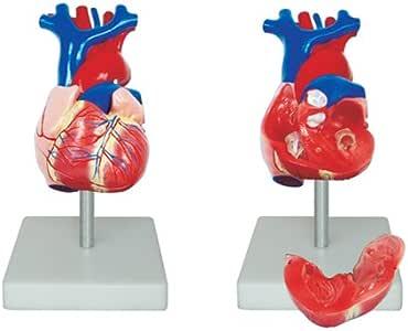 66FIT - Modelo anatómico de corazón (tamaño Real): Amazon