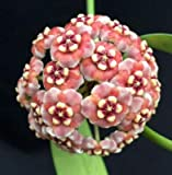 "Rare Hoya meliflua SSP. fraterna 5.5"" Hanging Baskets Furry Blooms Gorgeous (Premium Quality)"
