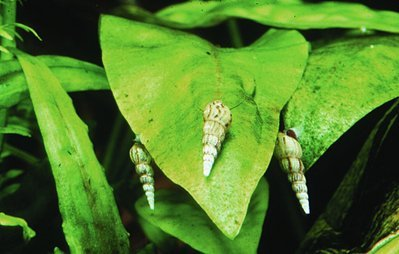 Aqua Emporium Malaysian Trumpet Snails (6 Live Snails)