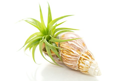 Airplant with Fairy Land Shell | 2