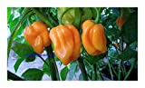 Chili Roatan Pumpkin Habanero - hot pepper - 50 seeds