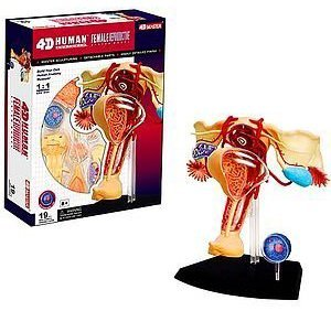 Learn about Human Anatomy - Female Reproductive System Model (Age (4d Anatomy Eyeball Model)