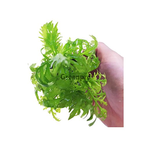 Hygrophila Difformis Water Wisteria Potted Live Aquatic Plant for Aquarium Freshwater fish tank by greenpro