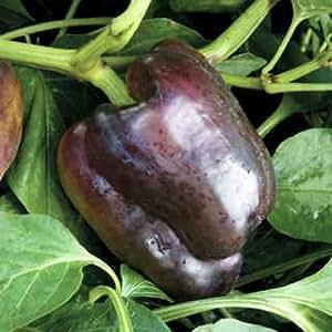Pepper Merlot 250 seeds