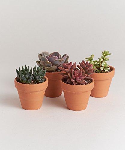 """Shop Succulents 2.5"""" Terracotta Succulent Four Pack"""