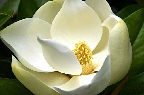 Magnolia grandiflora | Southern Magnolias | Bull Bay | 20_Seeds